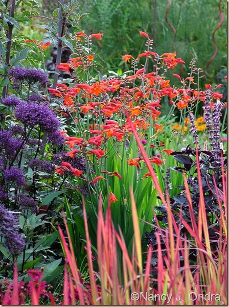 Crocosmia Emberglow Imperata Red Baron Aug 12 08