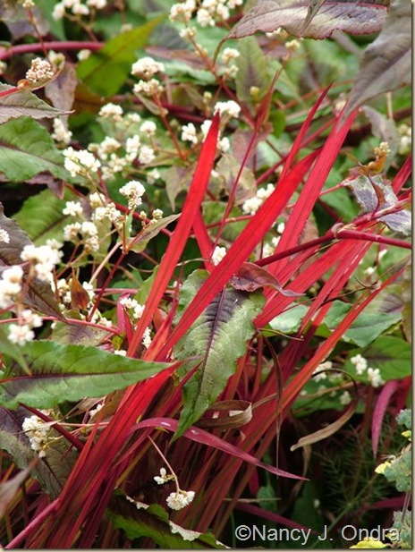 Imperata Red Baron Persicaria Red Dragon Oct 18 09