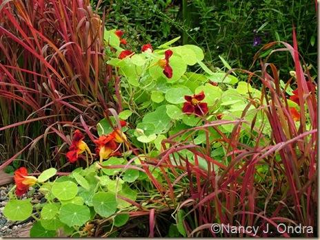 Imperata Red Baron Tropaeolum Nasturtium Tip Top Mahogany Oct 4 08