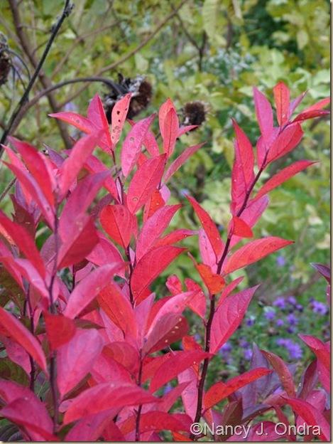 Itea virginica fall color Oct 12 09