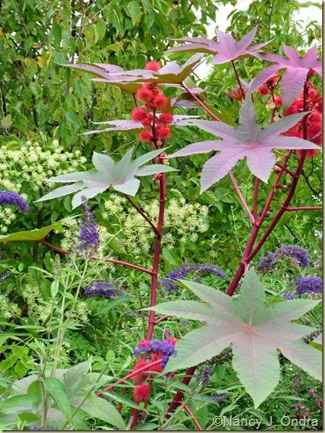 Ricinus communis Carmencita Red Aug 24 09