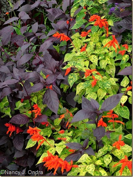 Salvia splendens Dancing Flames Oct 4 08