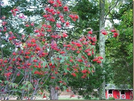 Viburnum setigerum berries Sept 29 07