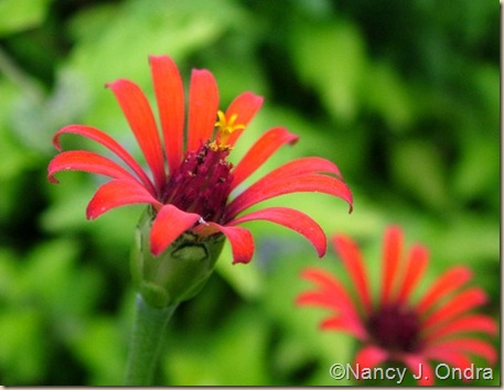 Zinnia Red Spider Aug 26 09