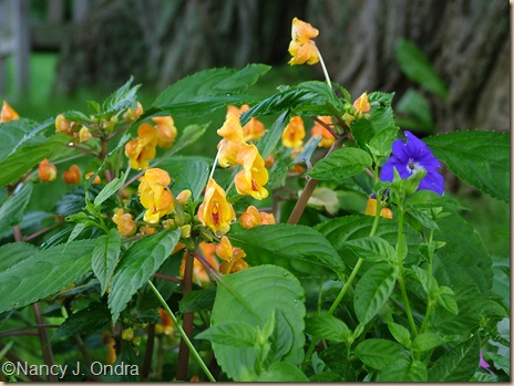 Impatiens auricoma Jungle Gold