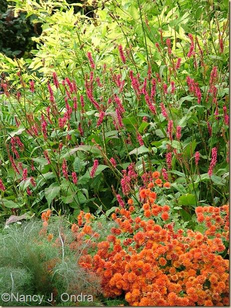 Orange chrysanthemum Persicaria Taurus Foeniculum Purpureum Oct 4 08
