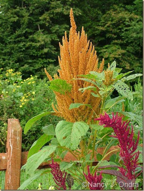 Amaranthus Orange Giant and Hopi Red Dye mid August 05