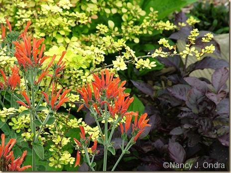Dicliptera suberecta Berberis thunbergii Aurea Alternanthera PK 2 July 12 06