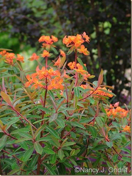 Euphorbia Fireglow late May 05