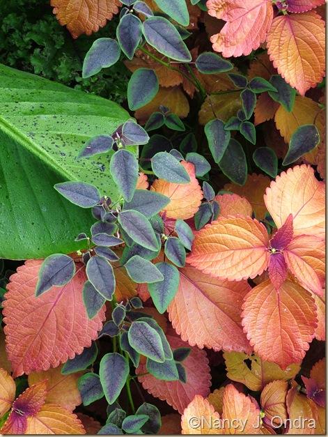 Euphorbia Flame Coleus Sedona Sept 9 05