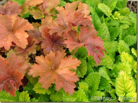 Heuchera Creme Brulee Melissa All Gold 2 April 19 08