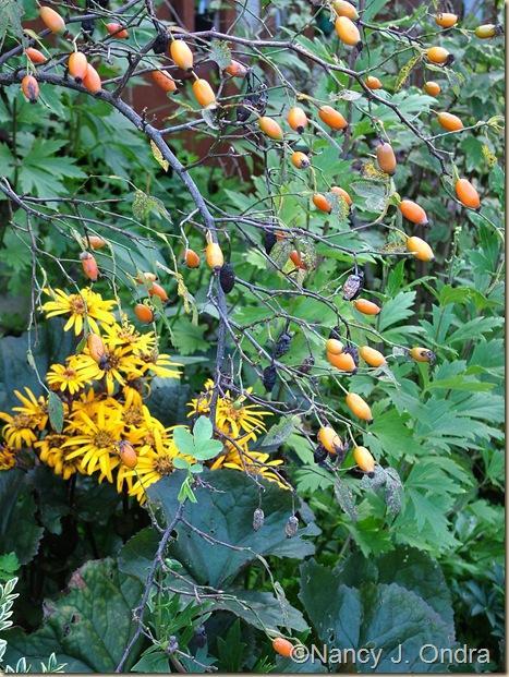 Rosa achburensis hips Ligularia Britt Marie Crawford Aug 25 07
