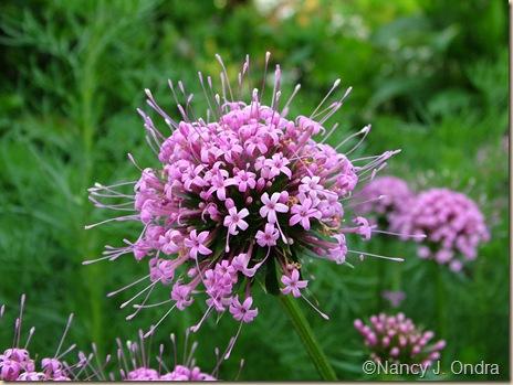 Phuopsis stylosa flower closeup