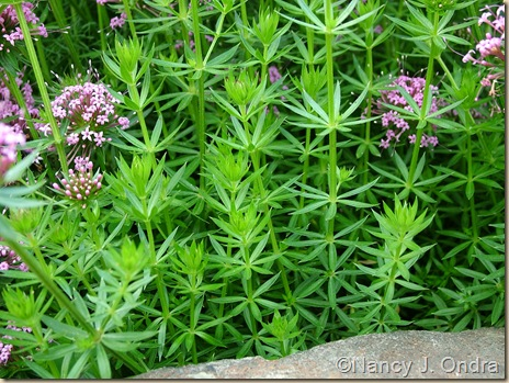 Phuopsis stylosa foliage