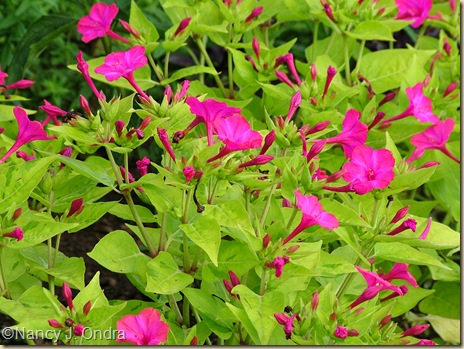 'Limelight' four-o'clock (Mirabilis jalapa)