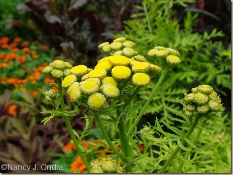 'Isla Gold' tansy (Tanacetum vulgare)