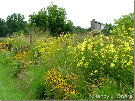 Long border with 'Lemon Queen' helianthus, Patrinia scabiosifolia, Rudbeckia fulgida, and pennisetums
