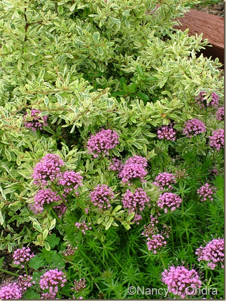 Phuopsis stylosa with Pyracantha 'Harlequin'