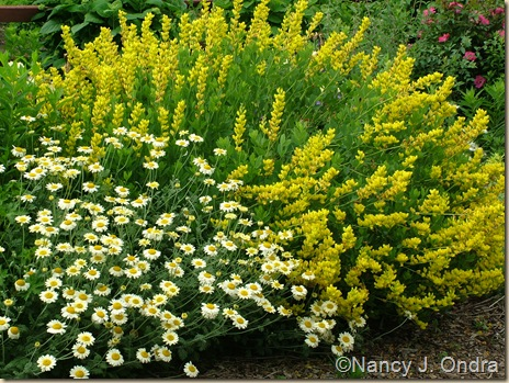 'Susanna Mitchell' marguerite (Anthemis) and 'Screaming Yellow' baptisia (Baptisia sphaerocarpa)
