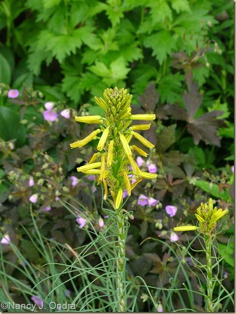 King's spear (Asphodeline lutea) May 20 07