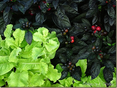 'Australian Yellow' lettuce' with 'Black Pearl' pepper (Capsicum annuum) mid Sept 05