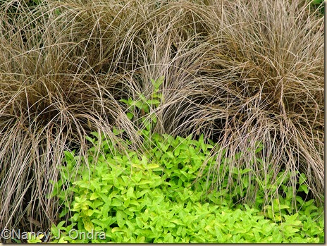 'Aztec Gold' creeping speedwell (Veronica prostrata) and Carex 'Toffee Twist' late June 05