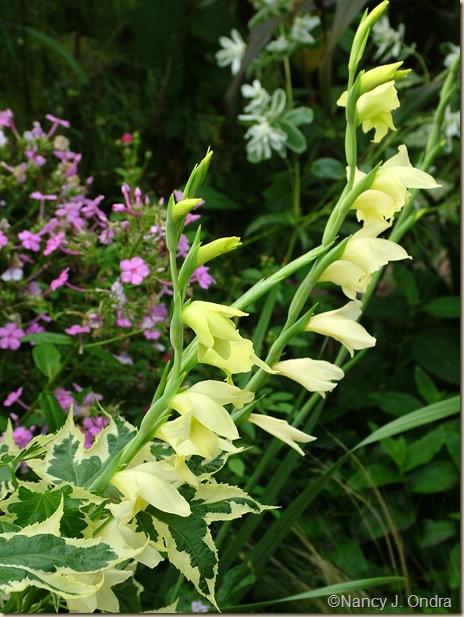 Ever-flowering gladiolus (Gladiolus tristis) mid August 05