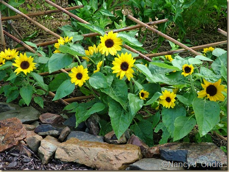 'Big Smile' dwarf sunflower (Helianthus annuus) Sept 15 07