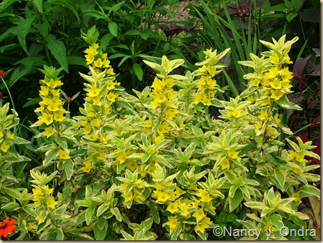 'Golden Alexander' yellow loosestrife (Lysimachia punctata) June 25 07