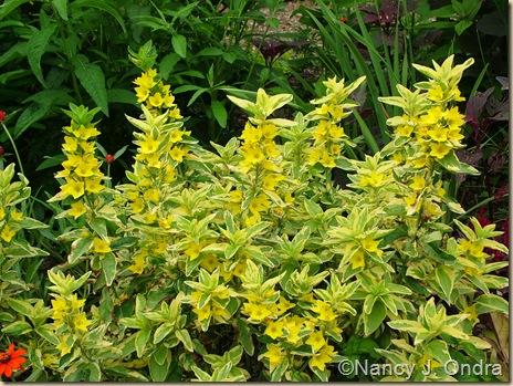 'Golden Alexander' yellow loosestrife (Lysimachia punctata) June 25 07