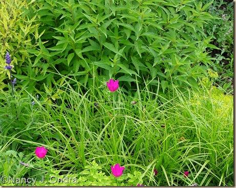 Origanum vulgare Aureum Callirhoe involucrata Carex muskingumensis Oehme Elscholtzia June 22 07