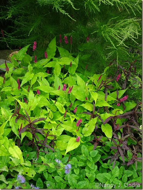 'Golden Arrow' mountain fleeceflower (Persicaria amplexicaulis) mid Sept 06