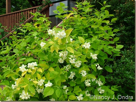 Golden mockorange (Philadelphus coronarius 'Aureus') early June 05_edTMP-1