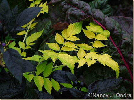 'Goldenvale' bramble (Rubus cockburnianus) mid Sept 05