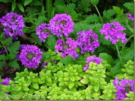 Golden oregano (Origanum vulgare 'Aureum') and 'Homestead Purple' verbena June 24 06
