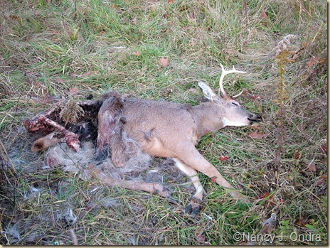 Dead deer in meadow Dec 12 09