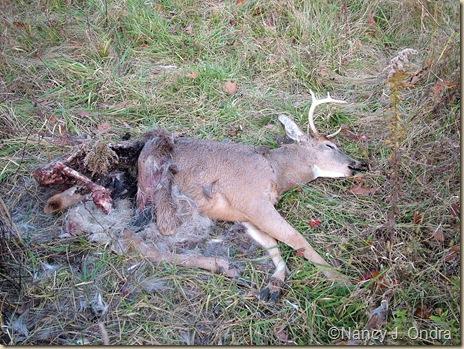 Dead deer in meadow Dec 12 09