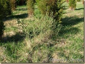 Elaeagnus umbellata sprouts in meadow April 10 10
