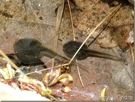Tadpoles in vernal pool April 29 08