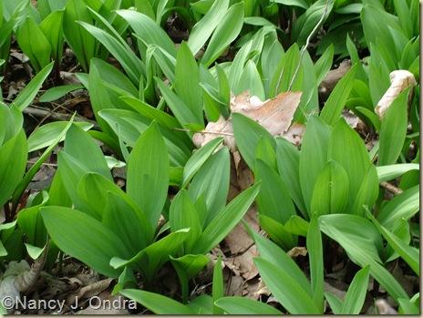 Allium tricoccum April 14 09