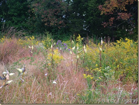 Asclepias syriaca pods Solidago in middle meadow Sept 27 07