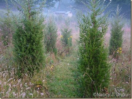 Path through junipers Sept 21 07