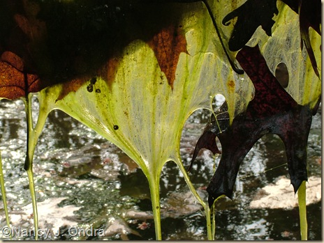 Vernal pool algae April 19 08
