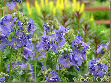 Polemonium Veronicastrum Erica Baptisia Screaming Yellow May 23 10