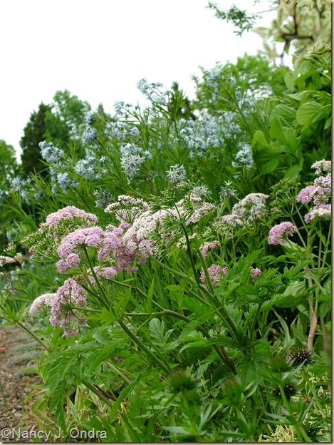 Chaerophyllum hirsutum 'Roseum' with Amsonia hybrid May 5 10