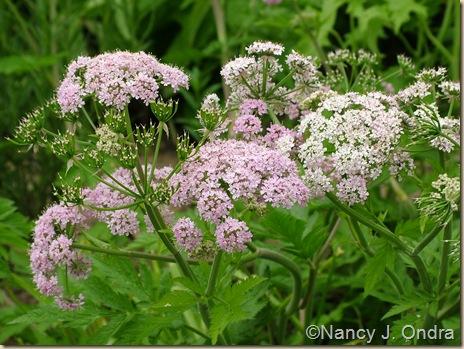 Chaerophyllum hirsutum 'Roseum' May 8 10