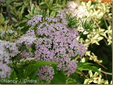 Chaerophyllum hirsutum 'Roseum' May 2 10