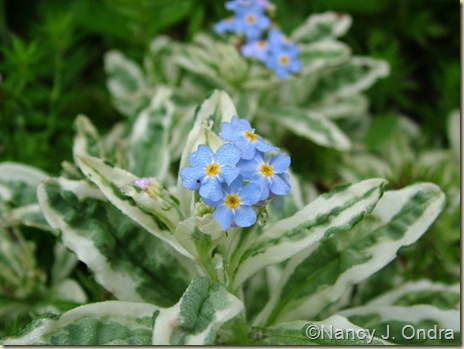 Myosotis palustris 'Unforgettable'