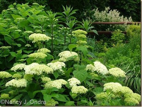 Hydrangea arborescens Vernonia