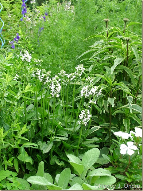 Stachys officinalis 'Alba' Echinacea 'Prairie Frost' Salvia officinalis 'Berggarten' Catharanthus 'Cora White'